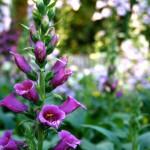 Foxgloves - Flower of the Fairies