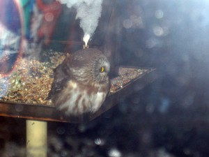Owl at the bird feeder