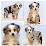 Finn the Mini Australian Shepherd Puppy
