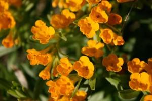 Cowslips Fairy Flower Garden