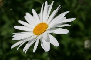 Daisy Fairy Flower Garden