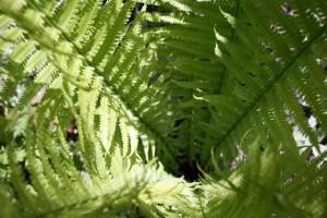 Ferns Fairy Garden