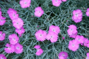 Firewitch Pinks Fairy Flowers Garden
