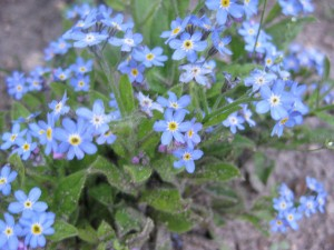 Forget-me-nots Fairy Flower Garden