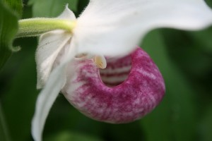 Showy Lady Slipper Fairy Flower Garden