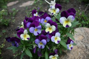 Pansy Fairy Flower Garden