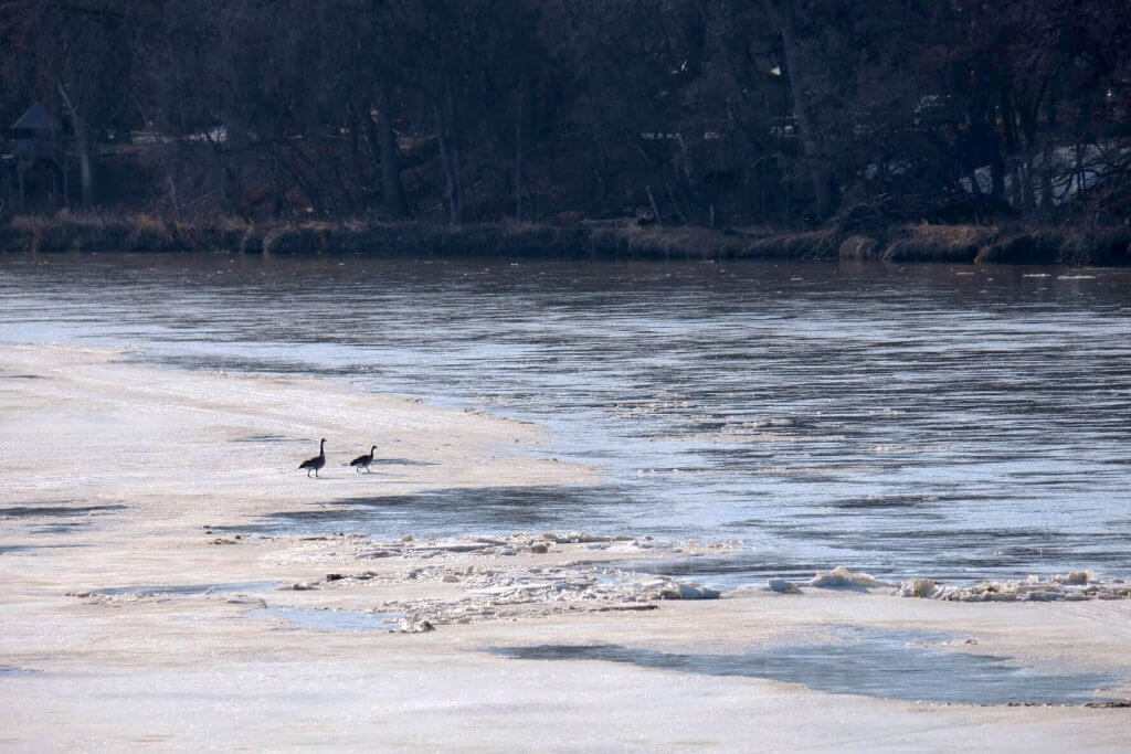 Geese on the melting river